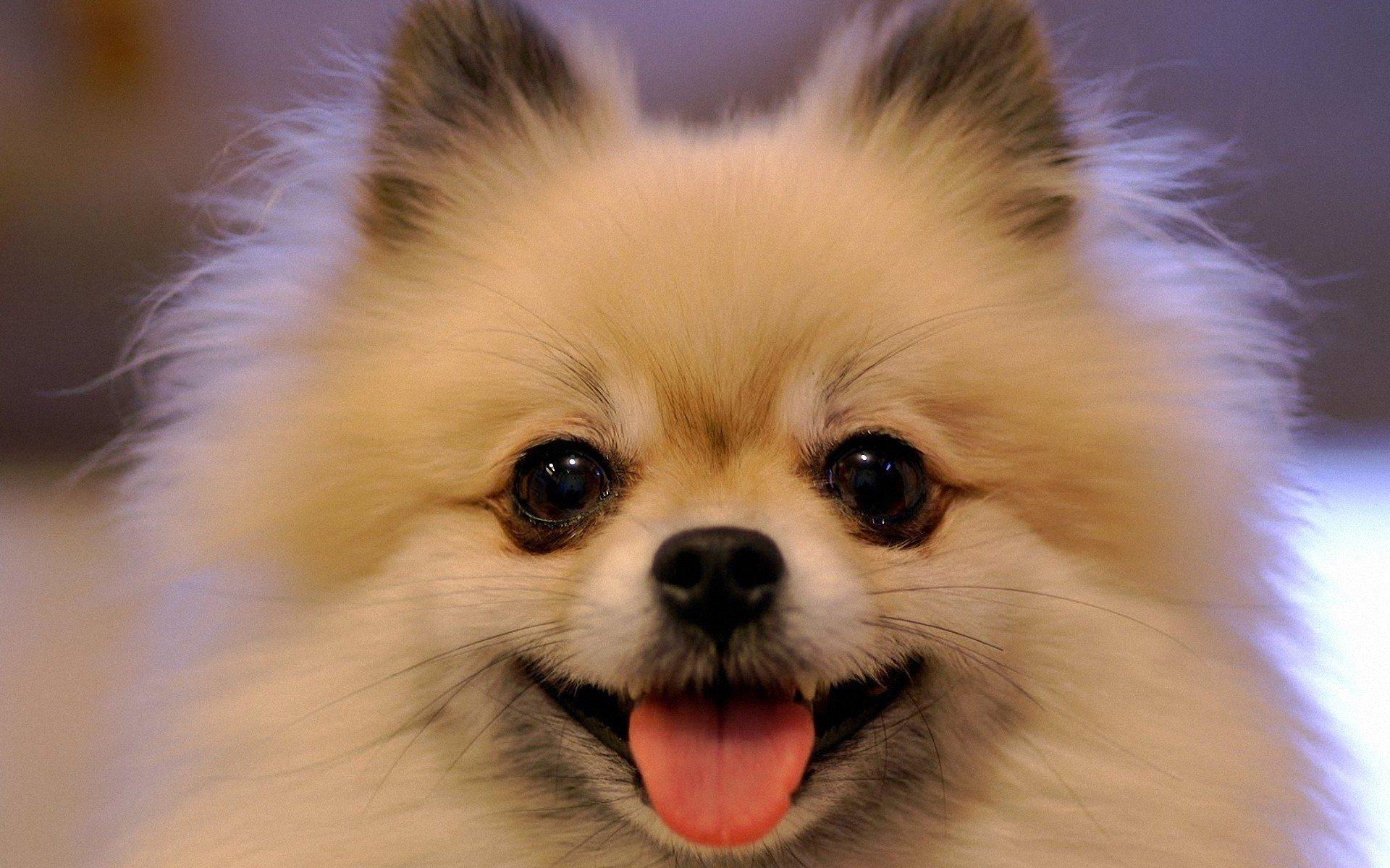 pomeranian-smile-face_96217-1920x1200.jpg